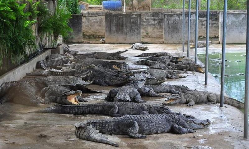 """-Cá sấu tại huyện Định Quán đang được nuôi """"ồ ạt"""""""