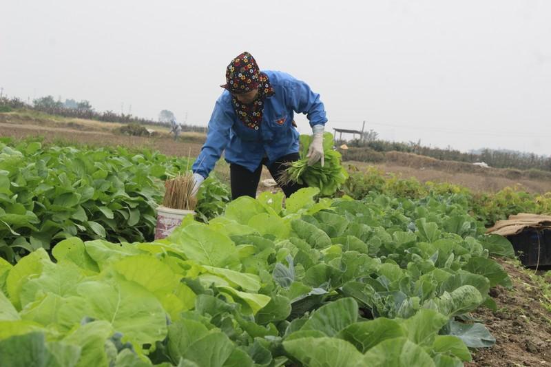 Giá rau xanh tăng đột biến – nông dân trồng rau phấn khởi được mùa