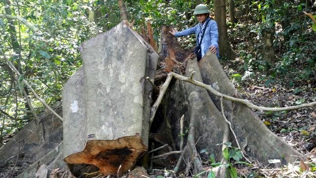 """Gốc sú đường kính khoảng 1,2m bị """"lâm tặc"""" triệt hạ trong rừng cộng đồng bản Phú Minh"""