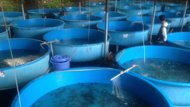Chuyện cá tầm giống có thể tự sinh sản nhân tạo với khả năng cung ứng tại chỗ khoảng 500 ngàn con có phải là sự thật?