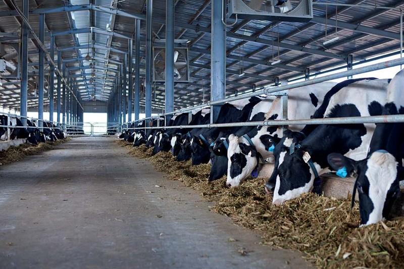 Vinamilk: Chủ lực trong thu mua sữa nguyên liệu