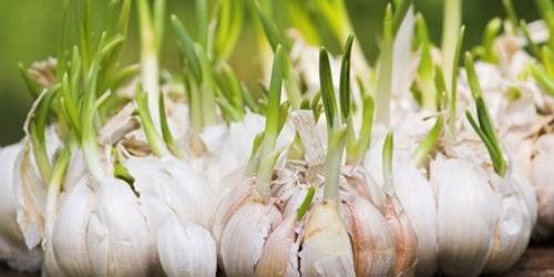 Ăn tỏi mầm có thể phòng chống ung thư?