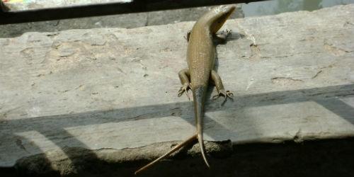Phát hiện con rắn mối có hai đuôi ở Sóc Trăng
