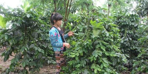 Người dân Mường Ảng luôn mong cà phê làm ra có thị trường tiêu thụ và giá cả ổn định