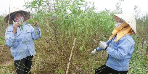 Nhiều chủ vườn đào phải thuê người tuốt lá để kịp thời vụ