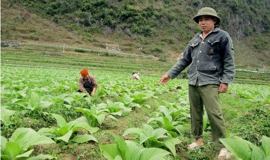 Nhiều hộ dân ở xã Phù Ngọc đã thoát nghèo nhờ cây thuốc lá