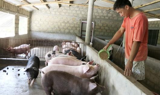 Từ 50 triệu đồng vay NHCSXH, anh Dương Đức Quân đã xây dựng được mô hình chăn nuôi hiệu quả