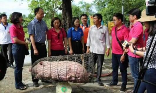 LienVietPostBank thu mua gần 9.000 kg lợn thịt. Ảnh: BNEWS/TTXVN