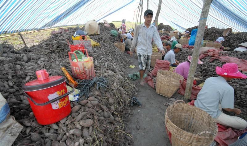 Đồng bằng sông Cửu Long: Điêu đứng vì khoai lang đã mất mùa lại rớt giá