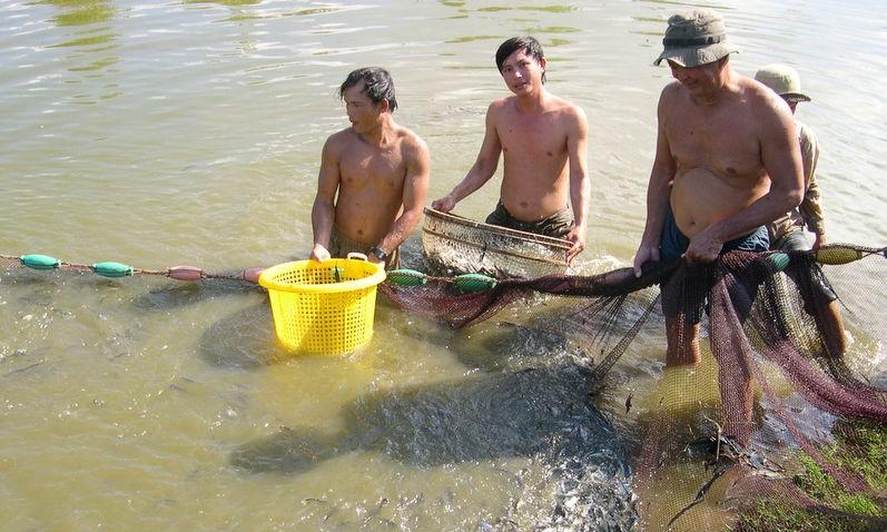 Để phát triển cá tra bền vững cần phải quan tâm và đột phá ở khâu cá giống
