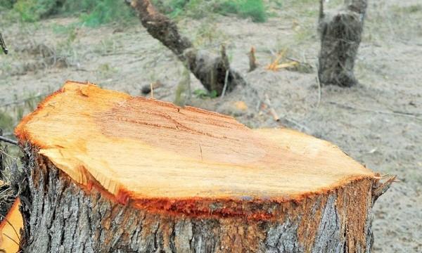 Nhiều cây keo có đường kính gốc từ 20cm - 30cm bị đốn hạ
