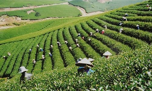 Công nhân Cty CP Chè Cờ Đỏ Mộc Châu thu hoạch chè. ảnh MH
