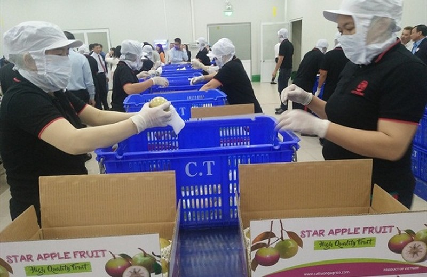 Việt Nam - nước đầu tiên xuất khẩu quả vú sữa vào thị trường Mỹ