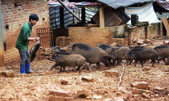 Tùng biểu diễn khả năng chế ngự đàn lợn rừng. Hình: Ngọc Thành