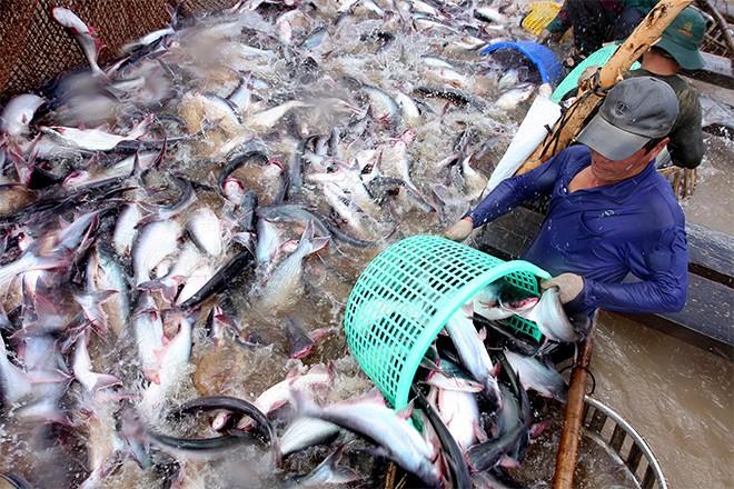 Với mức đánh thuế quá cao mà DOC công bố, cá tra Việt Nam sẽ hết đường vào Mỹ?