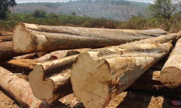 Hệ thống quản lý gỗ theo chuỗi: Gỗ lậu hết đường sống?
