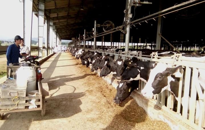 Mô hình chăn nuôi đàn bò sữa tập trung công nghệ cao tại Nghệ An. (Ảnh minh họa)