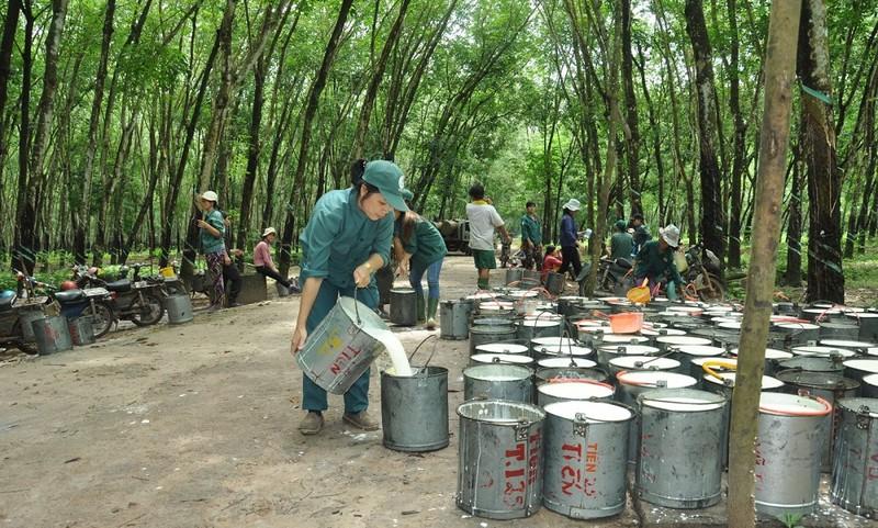 Có đến 80% cao su thiên nhiên của Việt Nam xuất khẩu (Ảnh minh họa)