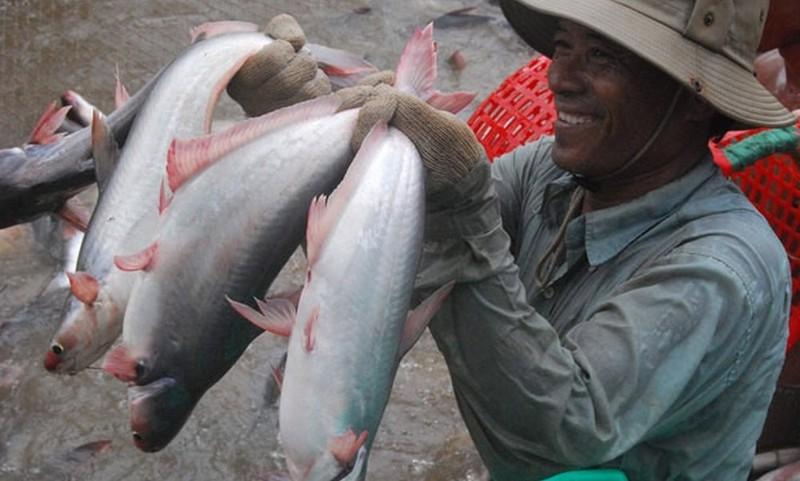 Xuất khẩu cá tra tăng mạnh, người nuôi hưởng lợi lớn