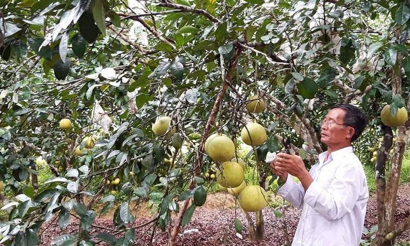 Kinh tế nhà ông Nguyễn Văn Minh (thôn Kim Lũ 1, xã Kim Hóa, huyện Tuyên Hóa, tỉnh Quảng Bình) bứt phá rõ rệt từ sức bật của những đồng vốn chính sách đầu tư vườn bưởi