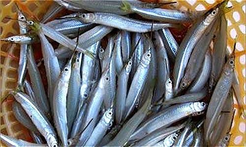 Cá lìm kìm gai đang được thu mua với giá cao tại Cà Mau