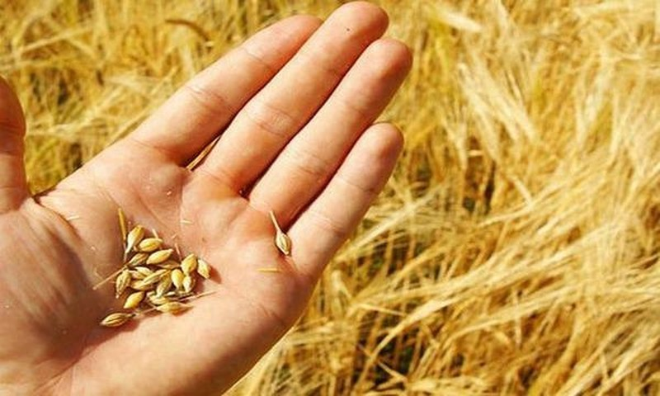 Xem xét dừng nhập khẩu lúa mì nhiễm cỏ kế đồng khi tình hình vi phạm không cải thiện