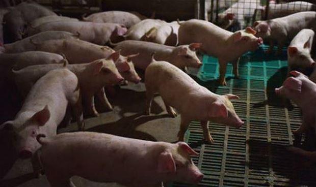 Dịch tả lợn châu Phi tiến sát biên giới Việt Nam