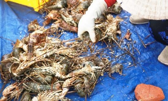 Tôm hùm chết hàng loạt tại Cam Ranh trong vài ngày qua. Ảnh: Kỳ Nam
