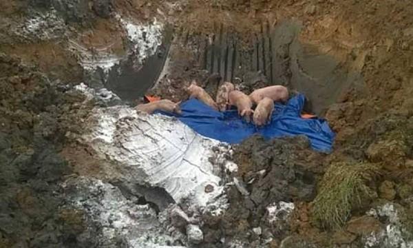 Hà Tĩnh: Tiêu hủy hơn 1 tấn heo bị lở mồm long móng