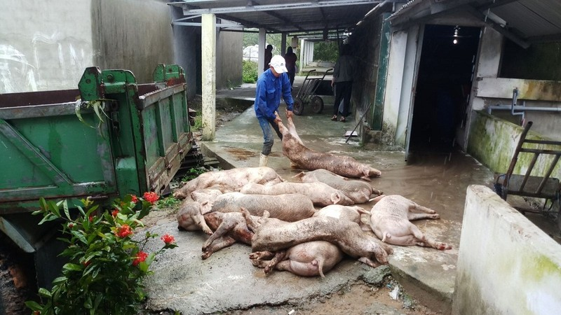 Thừa Thiên- Huế: Xử lý hàng trăm con heo mắc bệnh lở mồm long móng