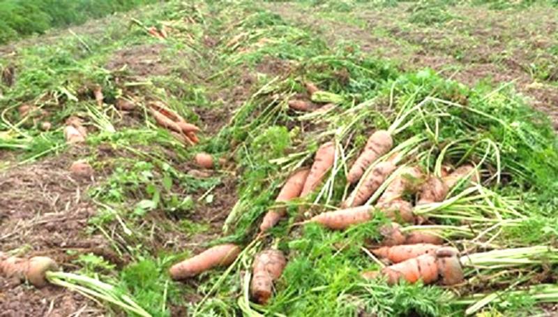Cà rốt rớt giá nên bà con cũng không muốn thu hoạch