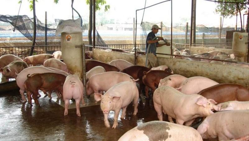Doanh nghiệp chăn nuôi tăng cường biện pháp phòng tránh dịch tả lợn