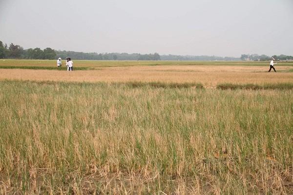 Hơn 40 ha lúa của người dân ở Lương Viện và Viện Trình, thị trấn Phú Đa, huyện Phú Vang bị mất trắng do thiếu nước