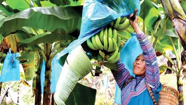 Vay vốn chính sách, đồng bào DTTS ở Bản Lầu trồng chuối xuất khẩu - đang phủ xanh đất trồng và xoá nghèo, làm giàu. Ảnh: T.Việt