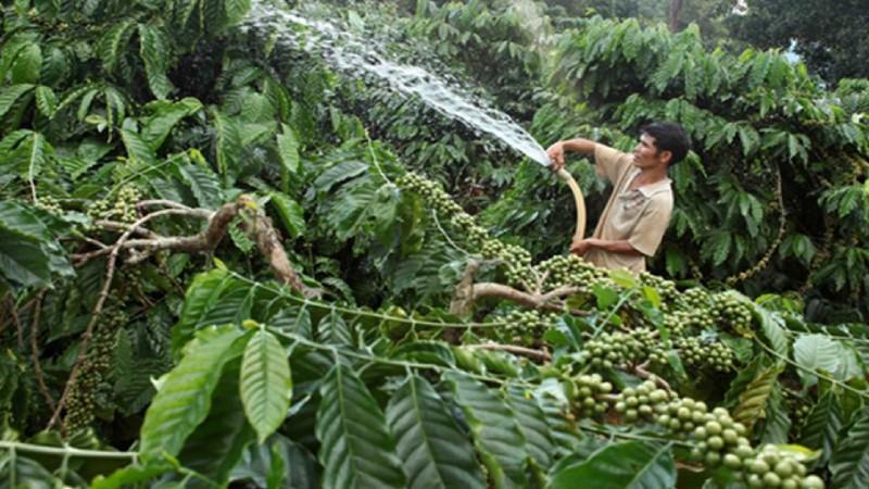 Gia đình anh H'Nich, người dân tộc Ba Na ở làng K'Tăng, xã K'Răng, huyện Đắk Đoa vay vốn chính sách từ chương trình tín dụng hộ mới thoát nghèo trồng cà phê và hồ tiêu