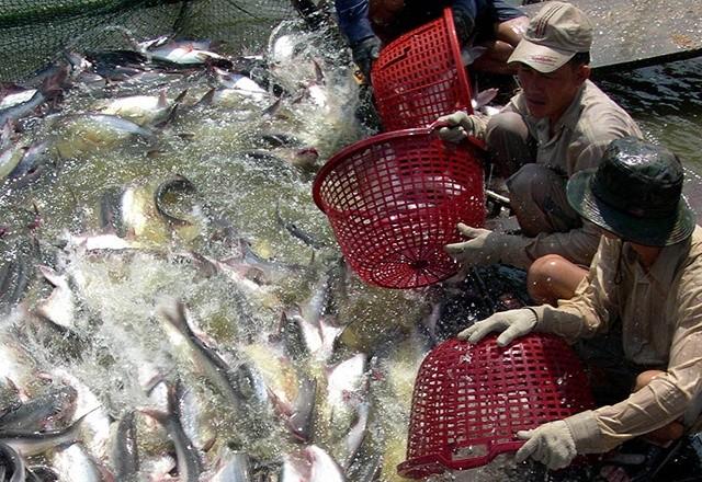 Tình trạng khủng hoảng thừa cá tra từng xảy ra cách đây 10 năm