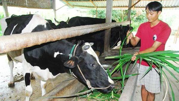 Hộ nghèo theo chuẩn địa phương ở TP Hồ Chí Minh vay vốn ưu đãi nuôi bò sữa, tạo sinh kế, thoát nghèo bền vững