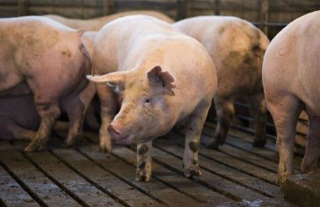 """Công bố nhãn hiệu chứng nhận """"Lợn Mỏ Cày Nam"""" ở Bến Tre"""