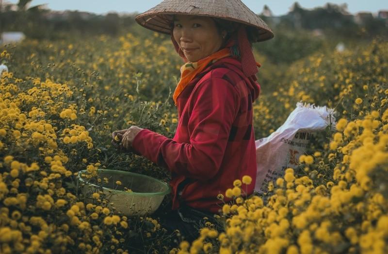 Chị Hà Thị Ly (Sơn La) thu hoạch cúc thời vụ tại Nghĩa Trai