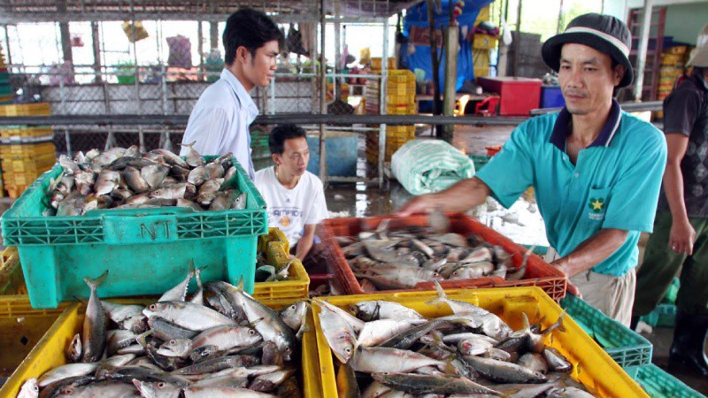 Thu mua cá tại cảng cá Tắc Cậu, huyện Châu Thành, Kiên Giang