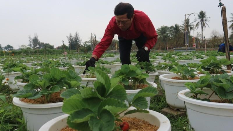 7.000 chậu cây dâu tây được anh Duẫn chuẩn bị cho dịp Tết năm nay