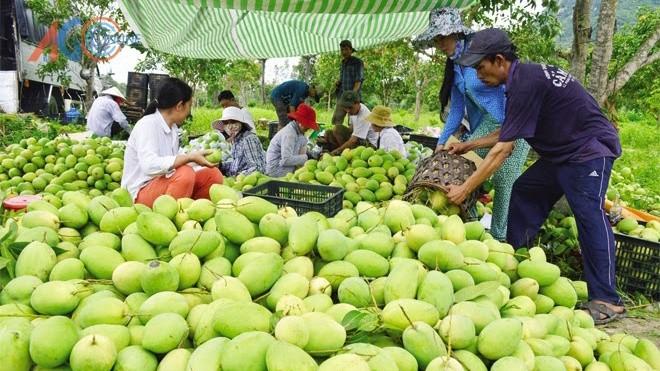 Đồng Nai đang lo lắng cho 12.252ha xoài đang vào vụ thu hoạch nhưng khó xuất khẩu