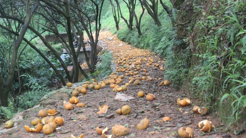Ước tính hơn 8000 tấn cam bị rụng tại Hà Giang