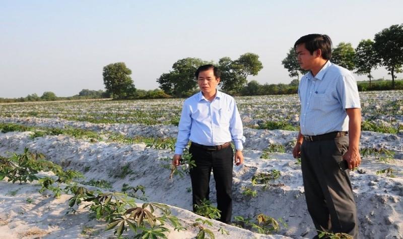 Hàng trăm ha sắn ở Thừa Thiên - Huế nhiễm bệnh khảm lá