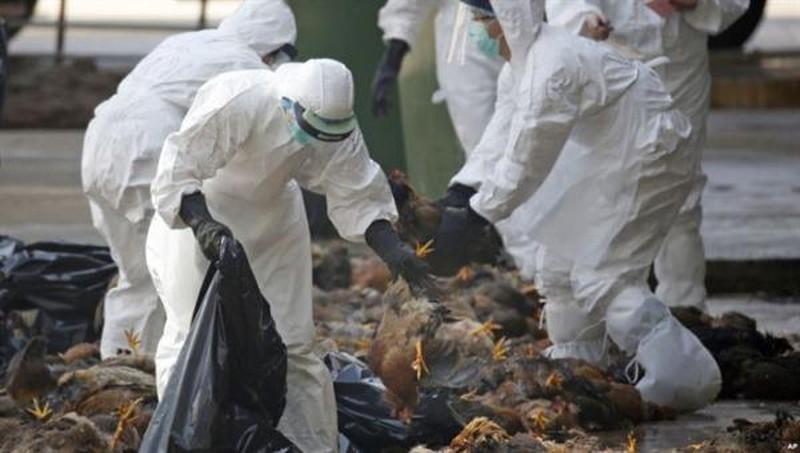 Hơn 137 nghìn con gia cầm phải tiêu hủy từ đầu năm