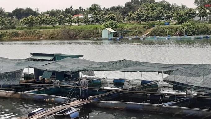 Hàng chục tấn cá diêu hồng tại Thừa Thiên - Huế đang chờ 'giải cứu'