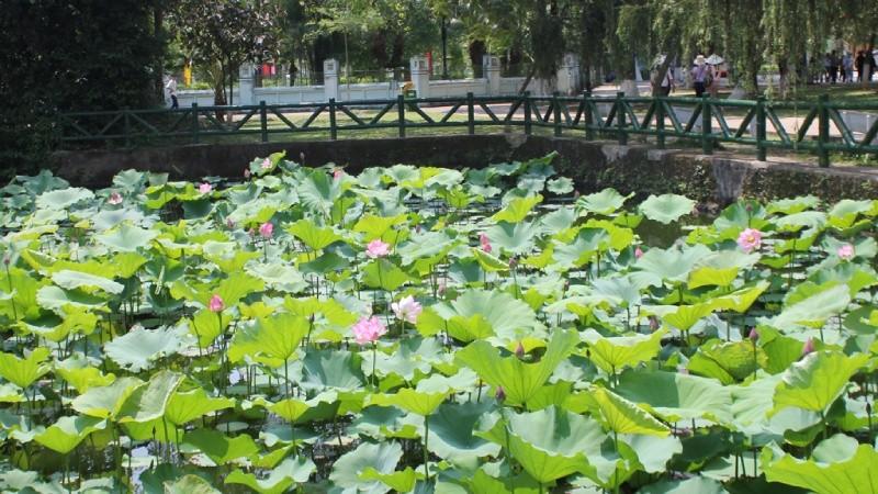 Đầm sen dẫn vào ngôi nhà tranh tại Làng Sen, nơi cụ Phó bảng Nguyễn Sinh Sắc một mình nuôi 3 người con