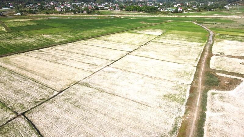Nhiều diện tích lúa nguy cơ khô héo do thiếu nước