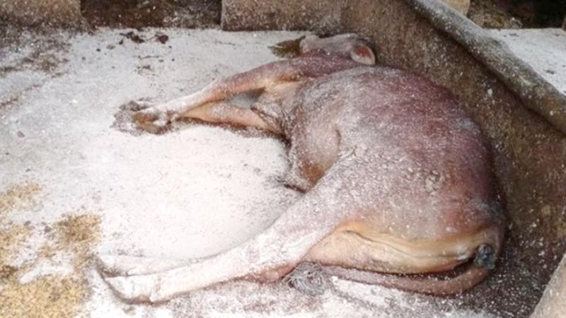 Một con bò chết do bệnh viêm da nổi cục.
