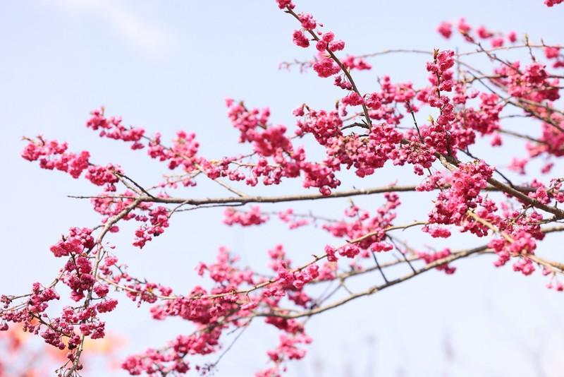 Lạ lùng vẻ đẹp hoa anh đào Himalaya tại Sun World Fansipan Legend